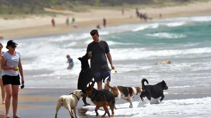 Dogs play at Currimundi Beach on a windy day.