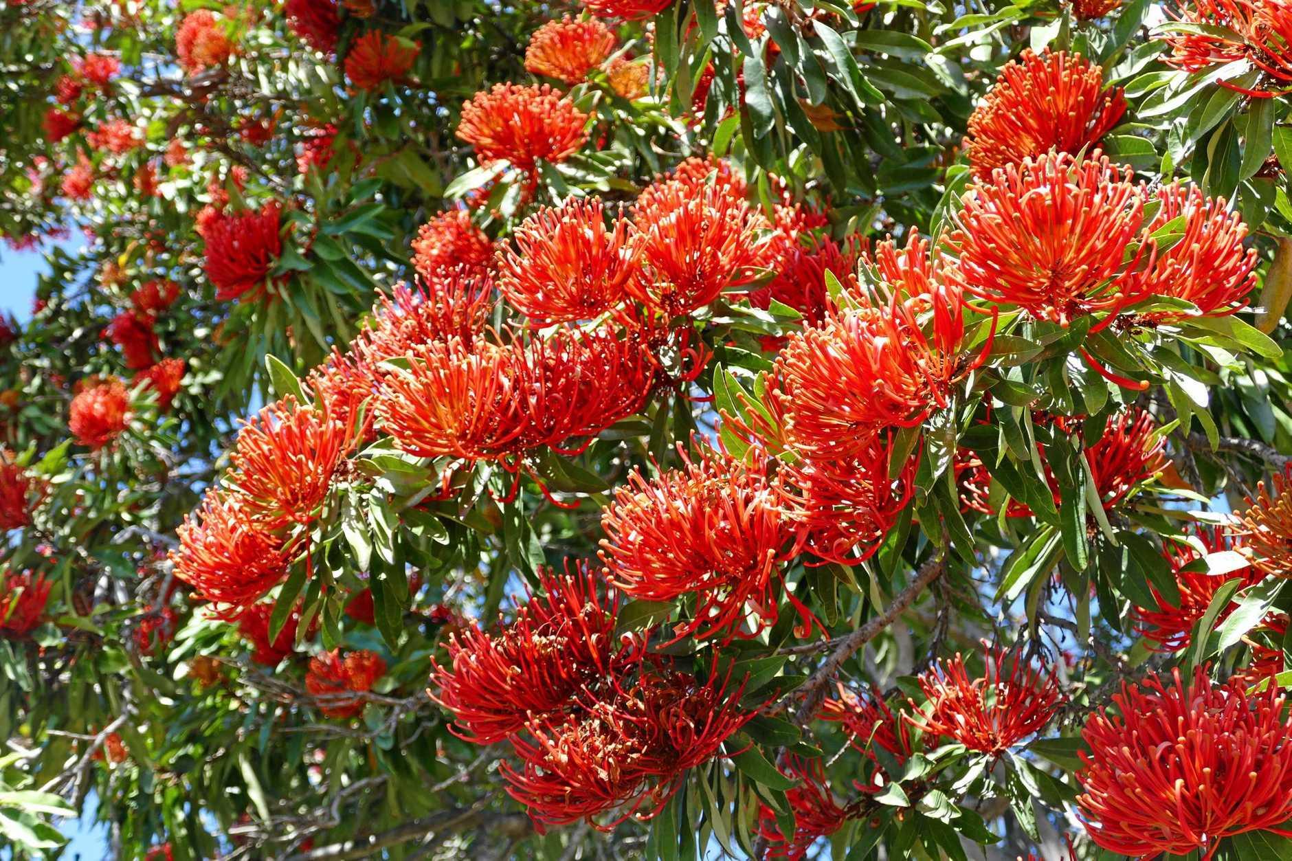 Detail of the beautiful Waratah flowers.