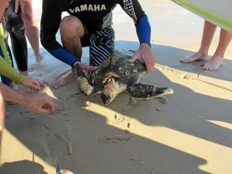 Free to go. The turtle was freed of the line that had trapped it and was soon ready to be released back into the ocean.