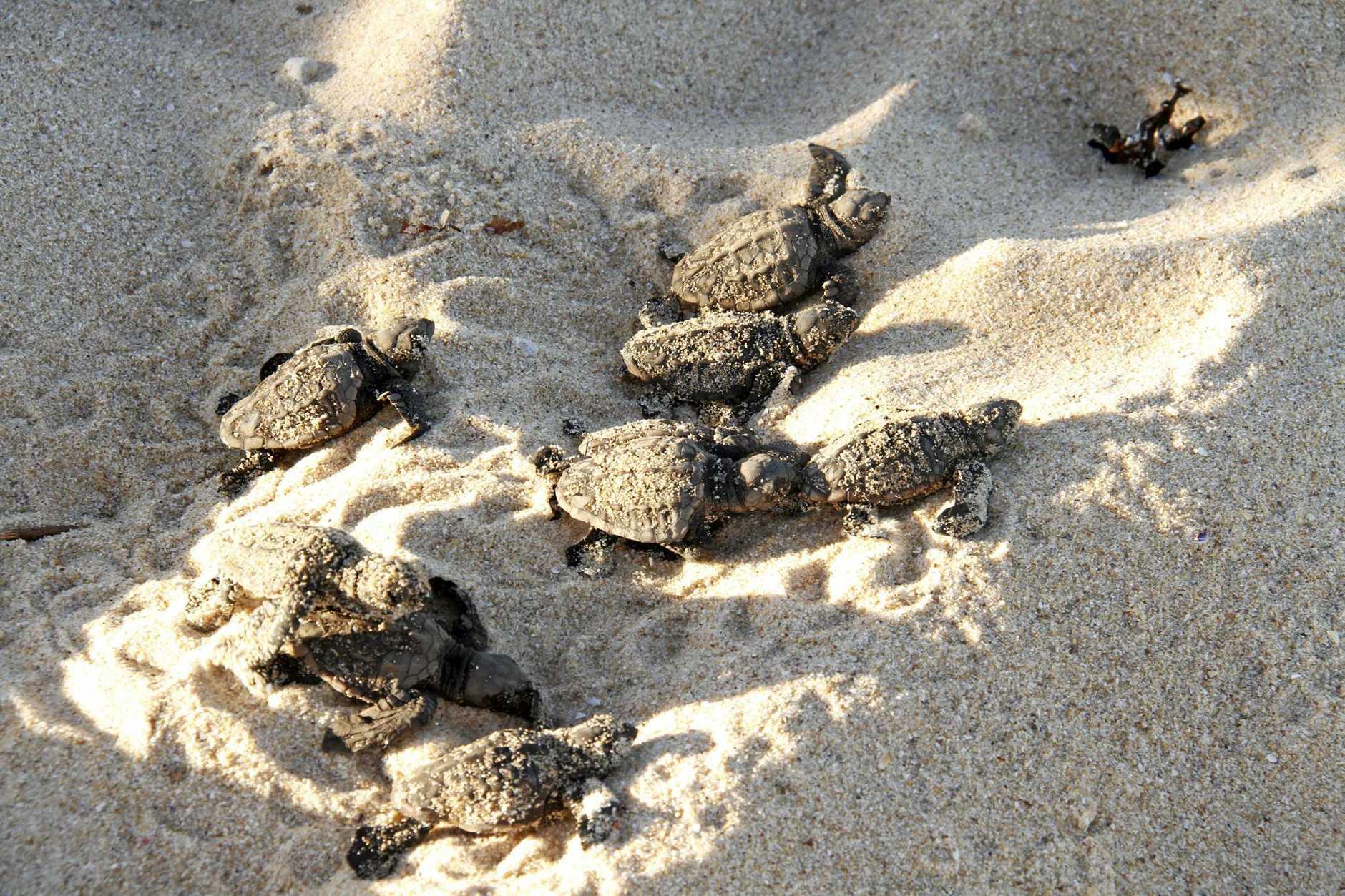 Turtle hatchlings on a Sunshine Coast beach.