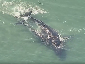 WATCH: Whale calf nudges stranded mum to safety