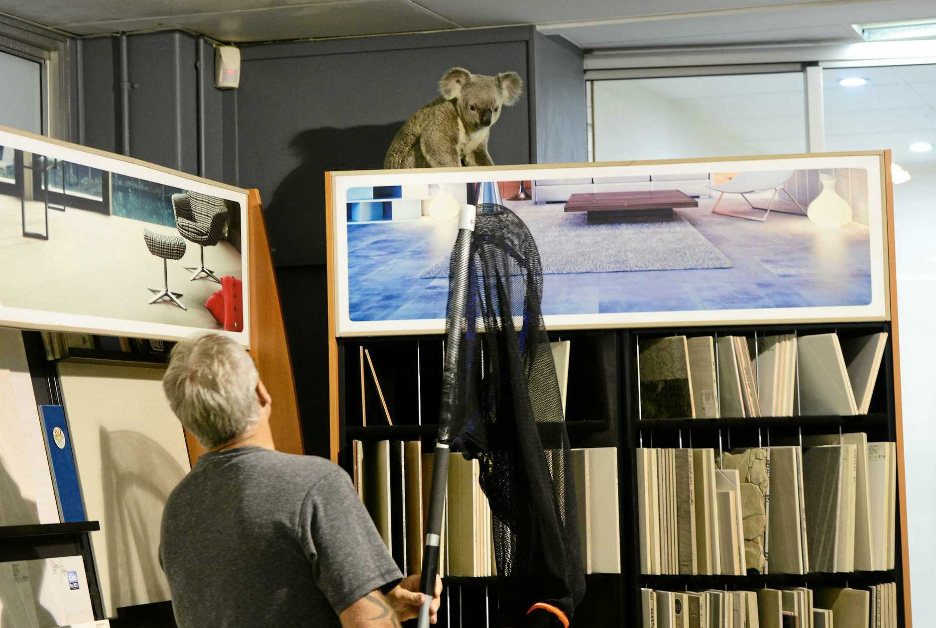 Koala catcher Peter Luker removed a stray Koala from inside the showroom of Choices Flooring in the Top of Town.