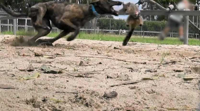 Greyhound baiting