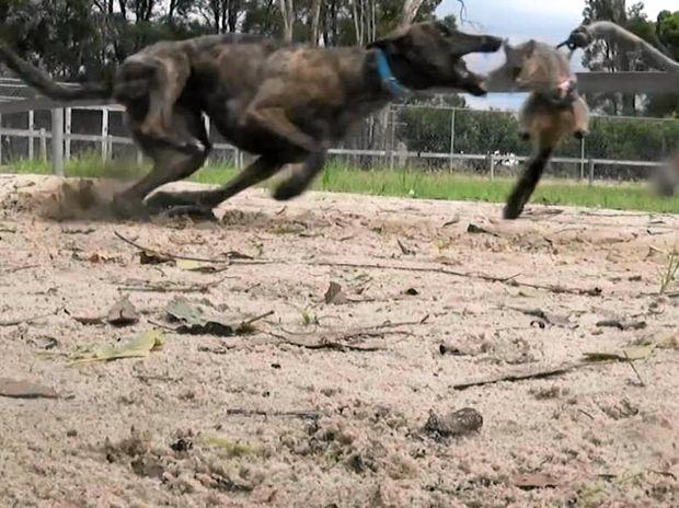 Greyhound baiting