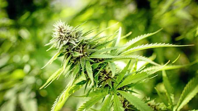A marijuana plant   for medicinal use.