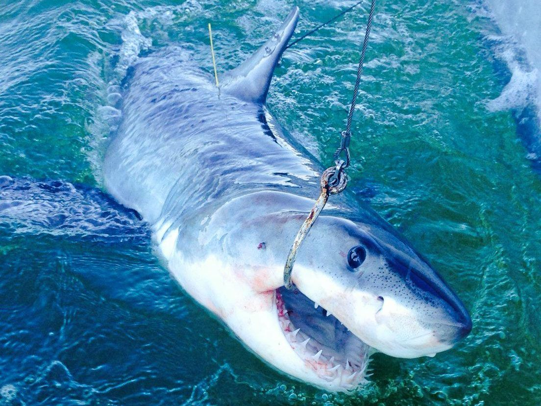 This 1.72m great white shark was tagged and released off Lighthouse Beach this morning.