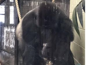 Gorilla sparks emergency after escaping London Zoo enclosure