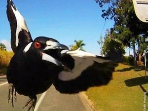 Dodge divebombs from Mackay magpies with the help of this website