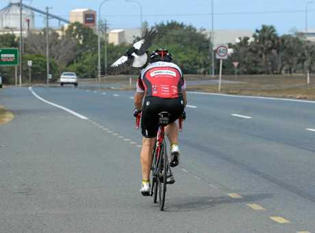 Ron Steel of Rock n Road Cycles is swooped by a magpie as he rides his bike.