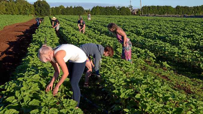 AIN'T ALL BAD: Backpackers like Alice Arzenton, Irene Brussa and Jasmine Piller are thrilled to have found somewhere like Robertson Flower Farm in Bundaberg that treats them well.Photo: Max Fleet / NewsMail