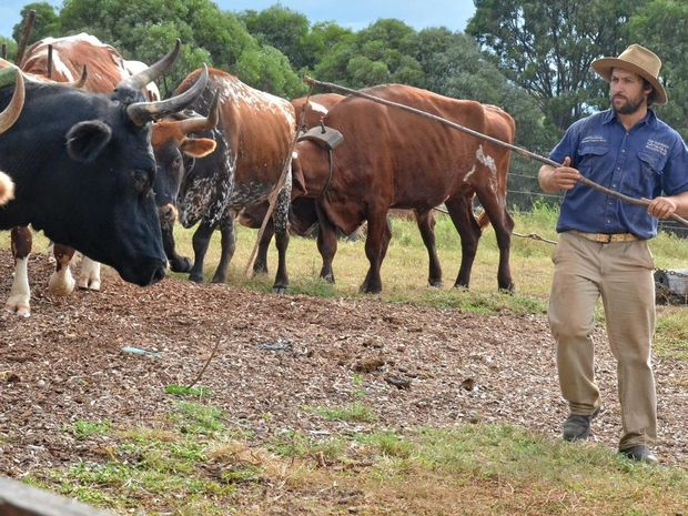 TRADITIONAL FARMING: Rohan Morris demonstrates how the Gleneden Farm bullock team carry a log load.