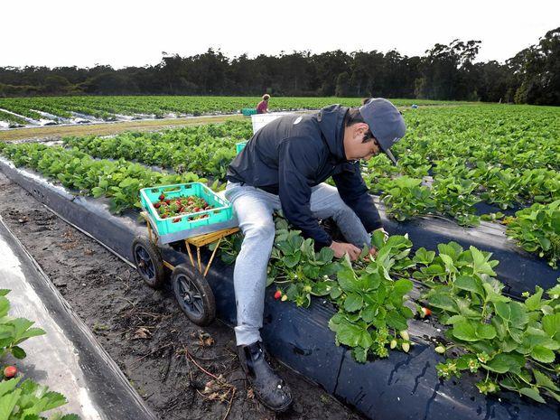A Korean 417 visa holder at work at a farm.
