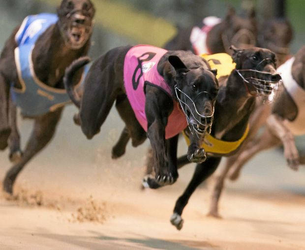 Local star Mitcharlie Mia looks a strong chance in tonight's Lismore Workers Club Cup heats.