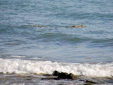 This crocodile at Eimeo Beach has raised many concerns amongst residents, who are asking when will the EHP remove it from the area.