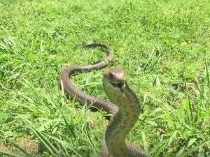 Terrifying video shows brown snake launching at camera