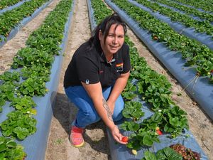 Stanthorpe strawberry season opens for visitors