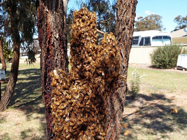 BUSY BEES: As the weather warms up, bees will swarm to find new homes.