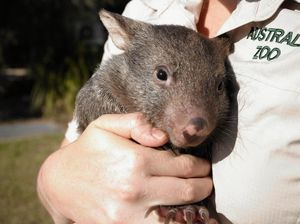Wombat joey makes incredibly cute entrance into the world