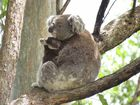 Residents and landholders in the Tweed region are invited to attend a free Koala information session on Saturday 5th November at Hastings Point.