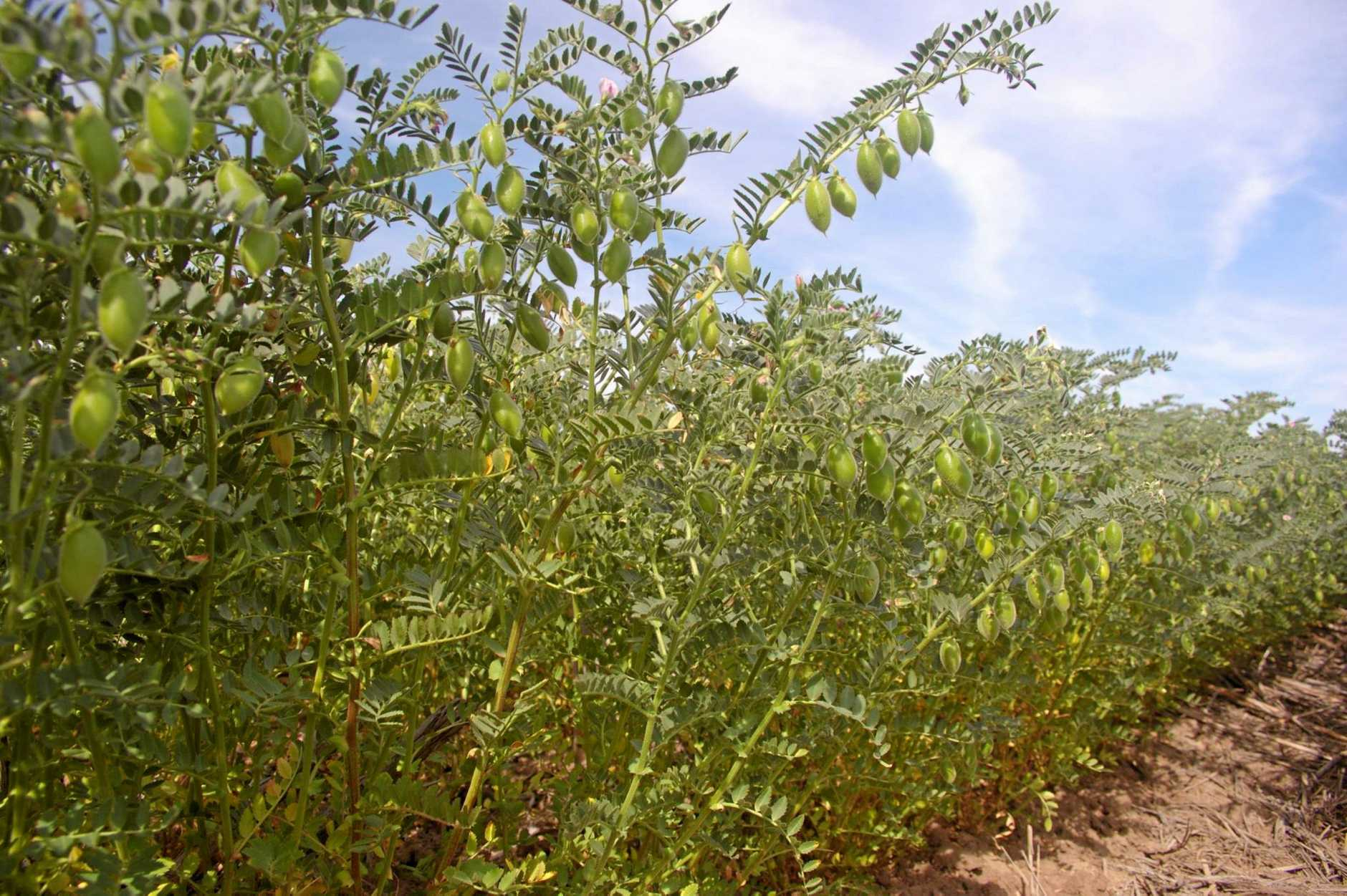 RAIN PAIN: Chickpeas have come down with a rash of gray mould due to rainfall.