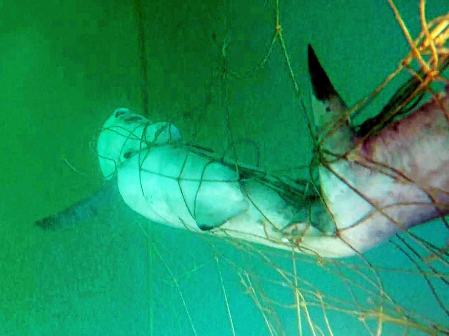 CAUGHT: This blacktip shark was caught in a shark net off Noosa.