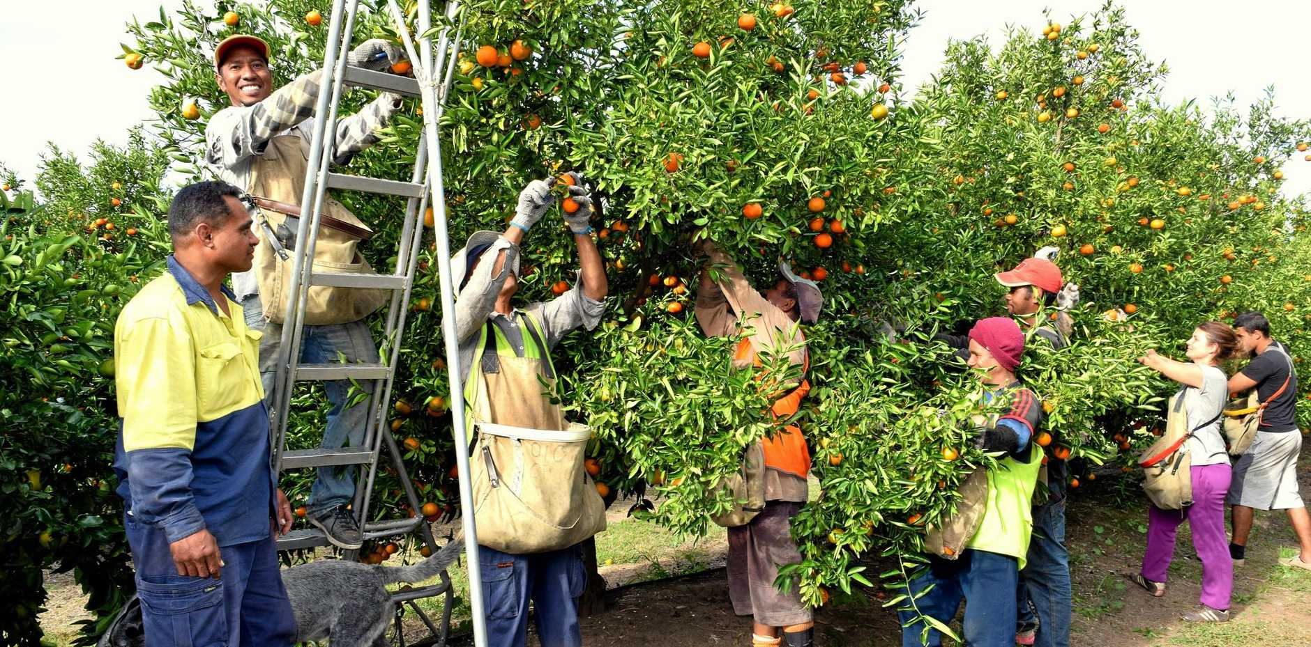 CITRUS PICKING: Back packers hit the trees when the fruit is at its best.