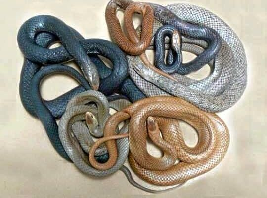Queensland Ambulance Service (QAS) paramedics have been called to more than 500 snake bite cases already this year.