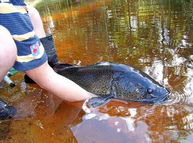 INTO THE WILD: Another fine specimen of a Mary River cod ready for release.