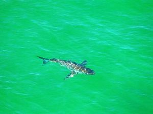 Sharks spotted, beaches closed but chopper patrols cancelled