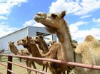 $1.4M lawsuit a hump in the road for Mutdapilly camel farm
