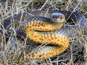 Resident spots eastern brown snake in park