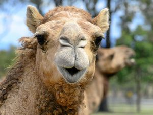 Camel races, tourist hub planned for rural property