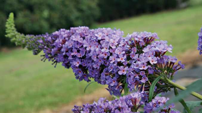 Buddlejas grow best in a sunny to partly shaded position.