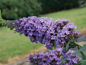 Gardening: Butterfly bush is ideal for year-round colour