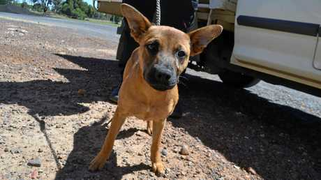 This four-month-old German Shepherd cross puppy is awaiting her forever home.