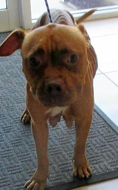 This emaciated female Staffy was impounded on  October 17.
