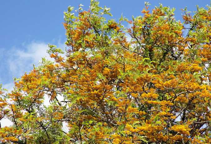 ABOVE AND LEFT: The Silky Oak's impressive golden display.