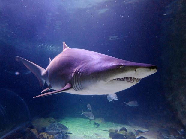 The NSW Government has vowed to reintroduce old-style mesh shark nets to North Coast beaches.