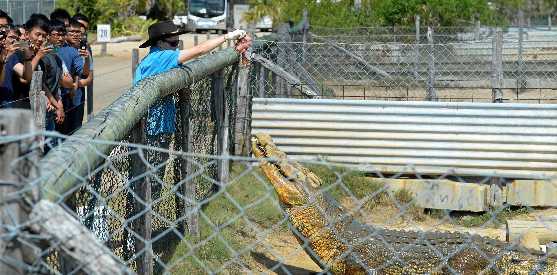 CRACKER CROC: Amanda Carolan feeds one of the crocodiles at the Koorana Crocodile Farm for Singaporean soldiers in Rockhampton for Exercise Wallaby.