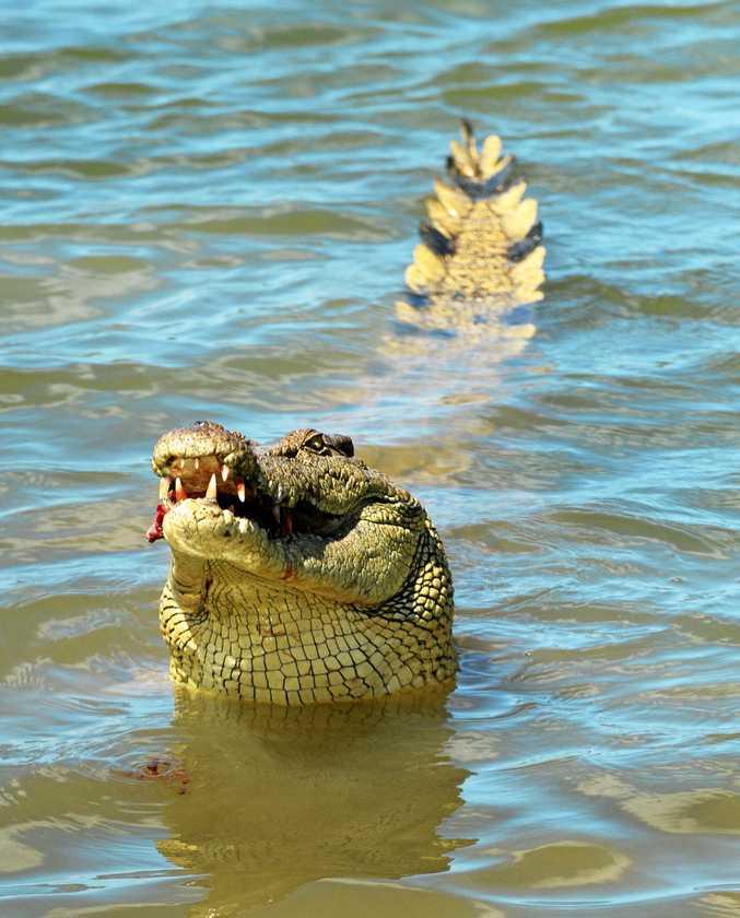 A crocodile swallows a piece of chicken at the Koorana Crocodile Farm.