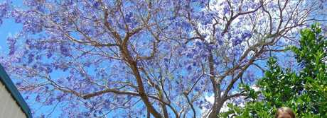 Shelby Walters loves the jacaranda at her great-grandmother Mavis Walsh's home at Woombye.