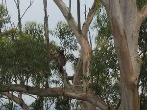 Koala makes rare appearance at tourist spot