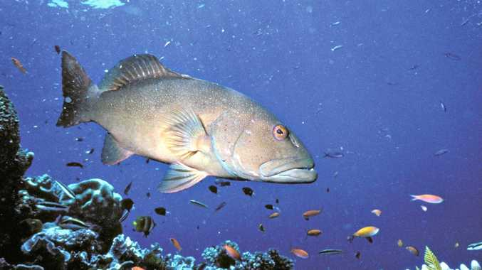 DEADLINE: Coral reef fin fish will be off limits from today as breeding season approaches.