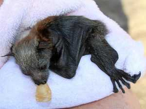 Bats dying in the Northern Rivers