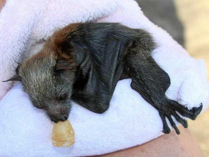 Olivia, the grey-headed flying-fox pup, has been rescued by WIRES Northern Rivers.