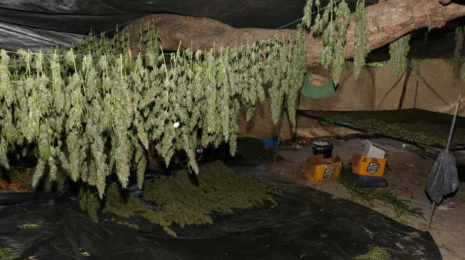 Plants and product seized during the raid.