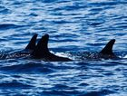 ON THE HUNT: Killer whales shadowed Mike Middleton's boat as he sailed from Double Island Point to Mooloolaba.