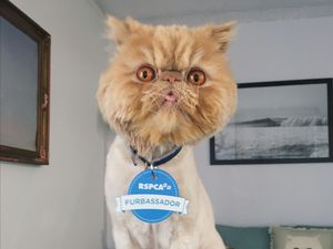 Famous feline the first fur‐bassador for RSPCA Qld