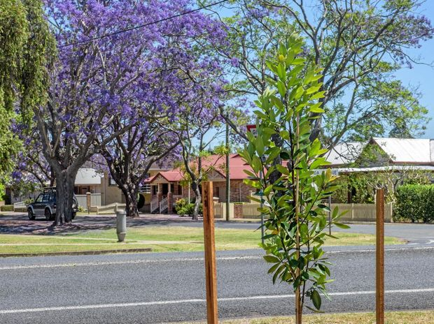 Watergums recently planted by Clarence Valley Council to replace African Tulipwood trees in Mary Street. Residents have wondered why the trees so close to Jacaranda Avenue have not been replaced by Jacarandas.