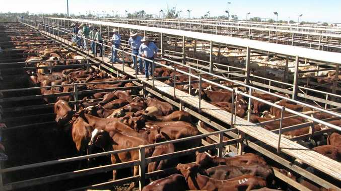 ROOM FOR IMPROVEMENT: The hundreds of cattle awaiting sale at the Roma Saleyards.